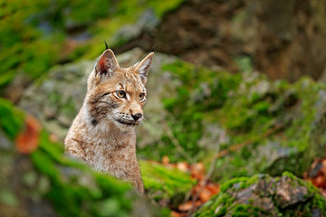 Foto op Plexiglas Lynx Lynx in the forest. Sitting Eurasian wild cat on green mossy stone, green in background. Wild cat in ther nature habitat, Czech, Europe.