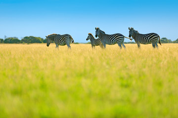 Fotomurales - Zebra with blue storm sky. Burchell's zebra, Equus quagga burchellii, Nxai Pan National Park, Botswana, Africa. Wild animal on the green meadow. Wildlife nature.