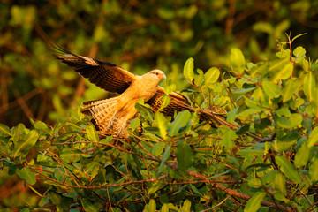 Yellow-headed caracara, Milvago chimachima, bird fly above green vegetation. Caracara flight in the nature habitat, Tarcoles, Carara NP, Costa Rica. Wildlife scene from nature. Evening sunset.