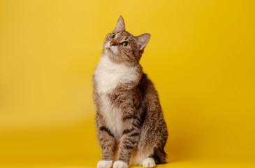 Tuinposter Kat attentive cat on yellow background