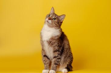 attentive cat on yellow background Fototapete