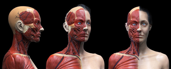 Human body anatomy muscles structure of a female, front view side view and perspective view, 3d render
