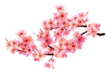 Sakura watercolor background for graphic design, hand painted on paper, sakura watercolor painting