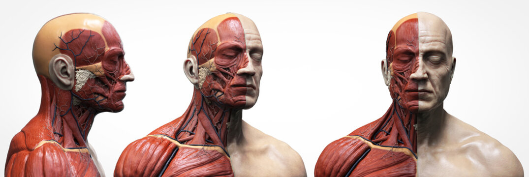 Human body anatomy muscles structure of a male, front view  side view and perspective , 3d render