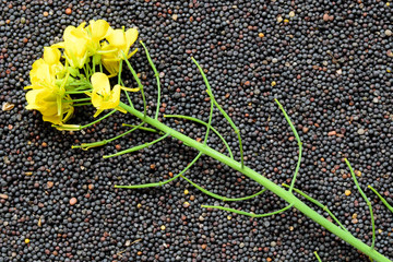 Rapeseed plant with yellow flowers and seeds. Yellow mustard plant. Canola seeds and fresh canola flowers. Rapeseed blossom on the background of seeds close-up. View from above.