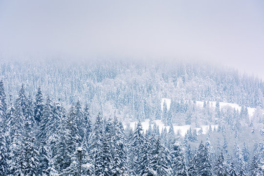 coniferous forest in snow and hoarfrost. beautiful nature background on a cloudy day in winter. gloomy overcast sky in them morning.