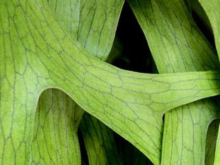 Wall Mural - Texture Detail on leaves of Elkhorn Fern , Platycerium coronarium