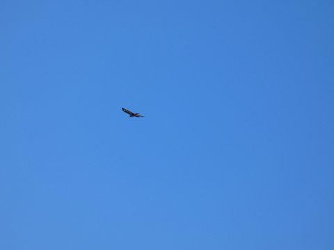 Aquila del Bonelli (Aquila fasciata)