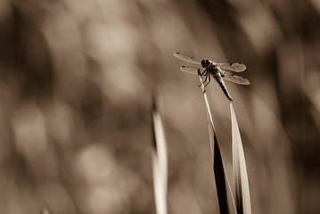 Dragonfly sits on a Reed, Dragonfly in Black and white, Sepia Photo, nice Bokeh, Black and White
