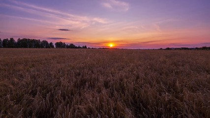 Fototapete - Beautiful scenic sunset with rays of sun shining through clouds in sky 4K UHD Timelapse. Lilac sunset over the yellow field of wheat. Sun sets over the horizon. Beauty of nature, agriculture, harvest.