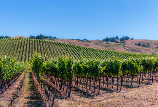 A panoramic of green vineyards climbing the hillside during summer in Sonoma Wine County. Rows of vines are seen. A blue sky, trees and houses are in the background.