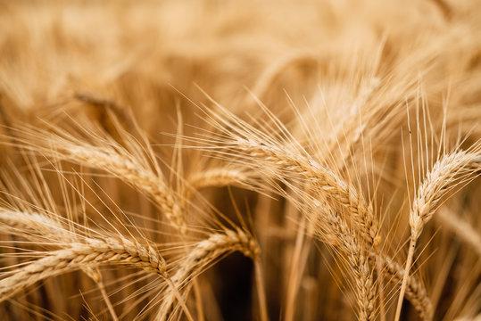 Yellow wheat grain ready for harvest in farm field