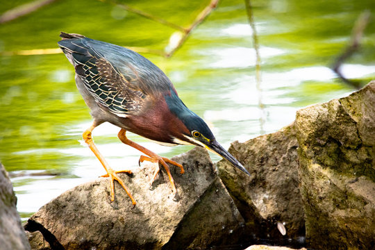 Green Heron Perched on Rocks in Malden Park at Windsor, Ontario Canada