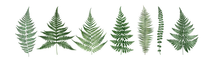 Set of fern leaves isolated on white. Watercolor botanical illustration.