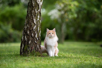 Foto op Aluminium Kat young cream tabby beige white maine coon cat standing next to a birch tree trunk in the back yard looking at camera curiously