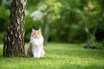Foto op Plexiglas Kat young cream tabby beige white maine coon cat standing next to a birch tree trunk in the back yard looking a bit grumpy at camera