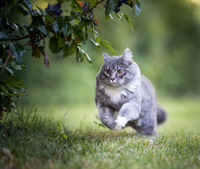 Fototapeta young playful blue tabby maine coon cat running over green grass at high speed in the back yard under a bush hunting obraz