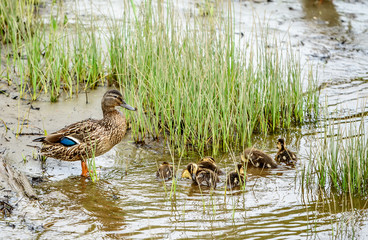 Mother Gadwall Duck Anas Strepera Leading her Ducklings Across a River in Maine