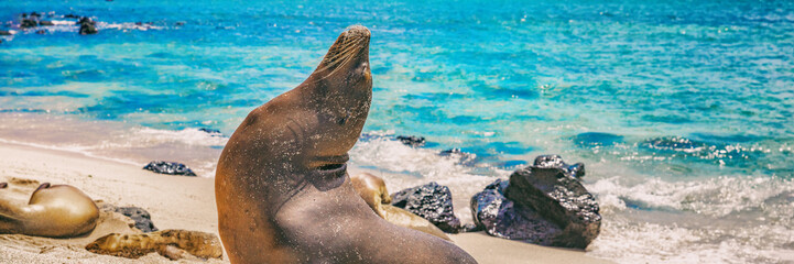 Panoramic image of Galapagos Sea Lion in sand lying on beach on Gardner Bay Beach, Espanola Island, Galapagos Islands. Animals and wildlife nature in Ecuador, South America. Cute animals