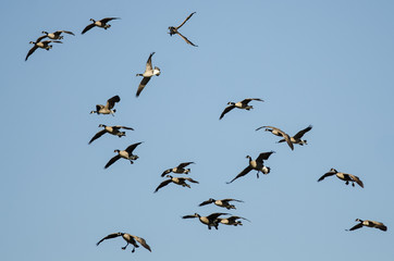 Fototapete - Whiffling Flock of Canada Geese Coming in for Landing in a Blue Sky