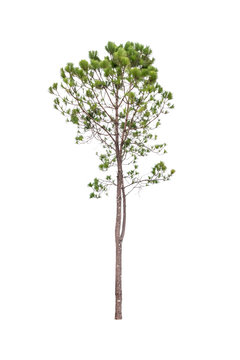 Beautiful pine tree isolated on white background. Clipping paths