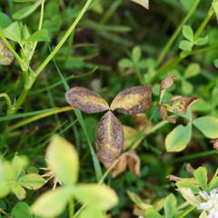 Kleeblatt clover shamrock yellow gelb braun grown ireland irland drei 3 blatt leaf autumn herbst