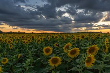 Fotobehang Zonnebloem Sonnenblumen Feld Langzeitbelichtung // Sunflower field longtimeexposure