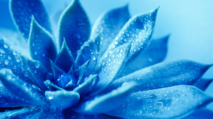 Close up succulent flower head with water rain drop , a blue nature plant tone Wall mural