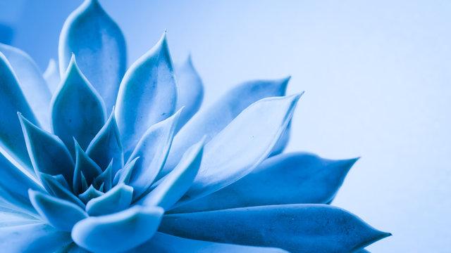 Close up succulent flower head with water rain drop , a blue nature plant tone