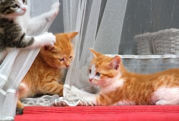 Drei kleine Katzen spielen an Gardine
