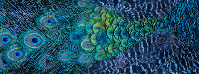 Fotobehang Pauw Blue peacock feathers in closeup
