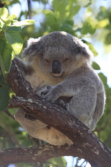 Canvas Prints A baby koala and mother sitting in a gum tree on Magnetic Island, Queensland Australia