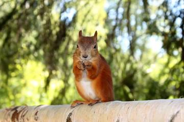 Fototapeta Belka is a fluffy resident of Pavlovsky Park. The city of Pavlovsk. St. Petersburg. obraz