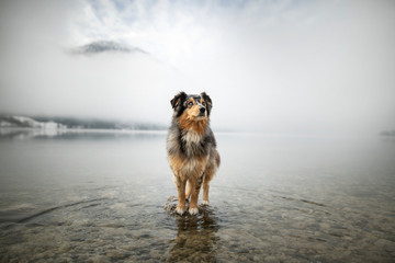 Acrylic Prints Dog Australian shepherd is standing at a rock in a lake. Beautiful dog in amazing landscape.