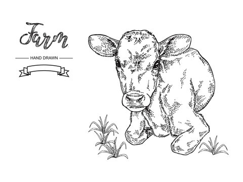 Hand drawn cow lying on the grass. Calf, bull, cattle vector illustration. Farm animal collection. Black and white graphic.