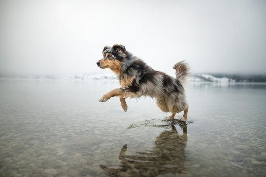 Australian shepherd is running through a lake. Beautiful dog in amazing landscape.