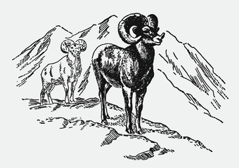 Fototapeta Two bighorn sheeps, ovis canadensis standing in the mountains. Illustration after a vintage engraving from the early 20th century