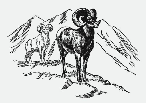 Two bighorn sheeps, ovis canadensis standing in the mountains. Illustration after a vintage engraving from the early 20th century