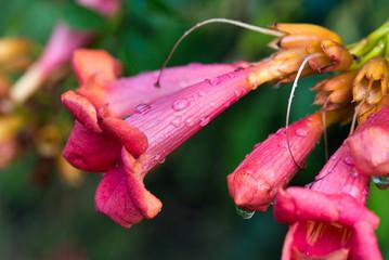 Campsis radicans, trumpet vine, trumpet creeper red flowers