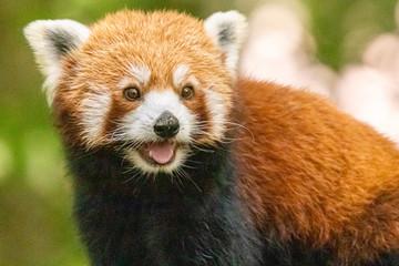 Türaufkleber Pandas red panda in close up