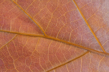 Colorful background of autumn oak tree leaf background close up. Texture of oak leaf in autumn. High quality resolution picture