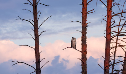 Fototapete - The horned owl sits on a pine at sunset against the sky with clouds.