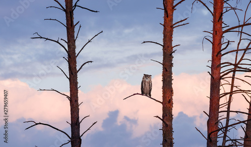 Wall mural The horned owl sits on a pine at sunset against the sky with clouds.