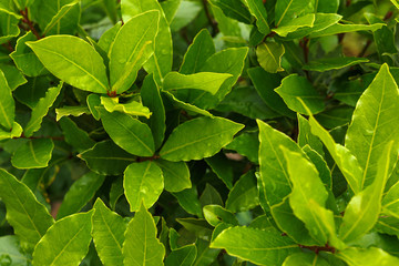 Organic laurel tree with bay leaves in garden