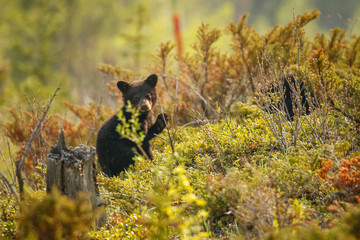 Little black bear cub discovering world around in Canadian Rockies