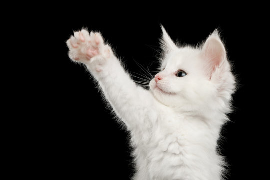 Portrait of Little White Maine Coon Kitten Raising paw on Isolated Black Background