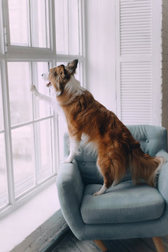 Border collie dog looking out the window