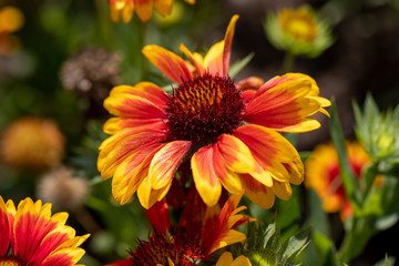 Portrait of yellow-orange gaillardia blanket flowers in the summer garden