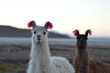 Portrait of Bolivian llamas during a sunset in Salar de Uyuni