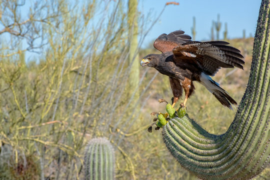 Juvenile Harris's Hawk landing on a Saguaro with Wings Spread